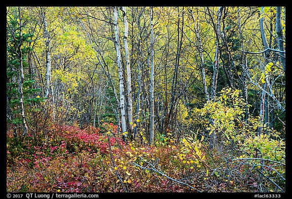 Northern trees and undergrowth with fall foliage. Lake Clark National Park (color)