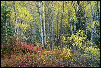 Northern trees and undergrowth with fall foliage. Lake Clark National Park ( color)
