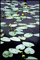 Water lilies in a pond near Chokosna. Wrangell-St Elias National Park, Alaska, USA. (color)