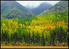 Mountain sloppes with aspens in different stages of autumn colors. Wrangell-St Elias National Park, Alaska, USA.