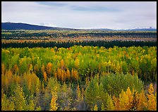 Flat valley with aspen trees in fall colors. Wrangell-St Elias National Park, Alaska, USA.