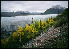 Late wildflowers, trees in autumn colors, and Root Glacier. Wrangell-St Elias National Park, Alaska, USA.