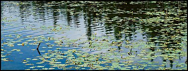 Water lillies and spruce reflections. Wrangell-St Elias National Park (Panoramic color)