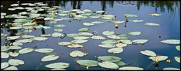 Water lillies in bloom. Wrangell-St Elias National Park (Panoramic color)