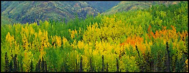 Mosaic of aspens in various color shades. Wrangell-St Elias National Park (Panoramic color)