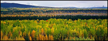 Valley with aspen trees in autumn. Wrangell-St Elias National Park (Panoramic color)