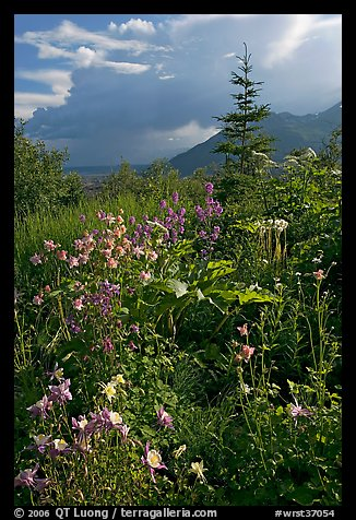 Variety of wildflowers near Kennicott. Wrangell-St Elias National Park, Alaska, USA.