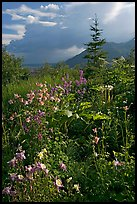 Variety of wildflowers near Kennicott. Wrangell-St Elias National Park, Alaska, USA. (color)