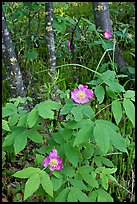 Wild Rose and tree trunks. Wrangell-St Elias National Park, Alaska, USA. (color)