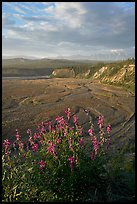 Fireweed, Kotsina river plain, and bluffs. Wrangell-St Elias National Park ( color)