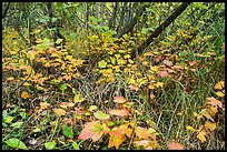Undergrowth fall foliage and alder. Wrangell-St Elias National Park ( color)