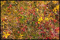 Close-up of tundra and berry plants. Wrangell-St Elias National Park ( color)