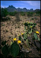 Prickly pear cactus with yellow blooms and Chisos Mountains. Big Bend National Park, Texas, USA.
