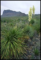 Yucas in bloom. Big Bend National Park, Texas, USA.