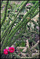 Occatillo and beavertail cactus in bloom. Big Bend National Park, Texas, USA.