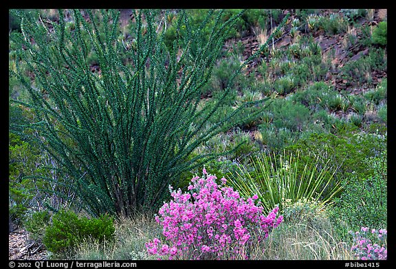 Purple flowers and occatillo. Big Bend National Park, Texas, USA.