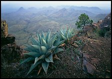 Agaves on South Rim overlooking desert mountains. Big Bend National Park, Texas, USA. (color)