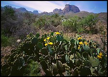 Yellow prickly pear cactus in bloom and Chisos Mountains. Big Bend National Park, Texas, USA.