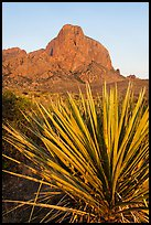Sotol rosette and Chisos Mountains. Big Bend National Park, Texas, USA. (color)