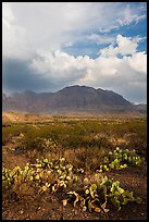 Cactus, Chisos Mountains, and clearing storm. Big Bend National Park, Texas, USA. (color)