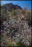Siverleaf with purple flowers. Big Bend National Park, Texas, USA. (color)