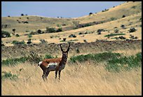 Pictures of Pronghorns