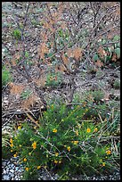Wildflowers and shrubs. Carlsbad Caverns National Park, New Mexico, USA. (color)