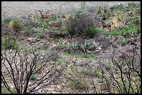Deer in desert landscape. Carlsbad Caverns National Park, New Mexico, USA. (color)