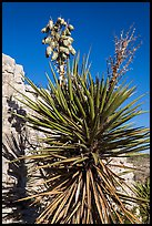 Yucca and cliff. Carlsbad Caverns National Park, New Mexico, USA. (color)