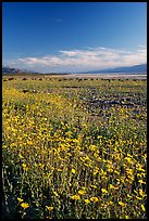 Valley and rare carpet of Desert Gold wildflowers, late afternoon. Death Valley National Park, California, USA. (color)