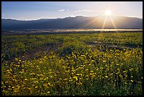 Desert wildflowers and sun, late afternoon. Death Valley National Park, California, USA. (color)