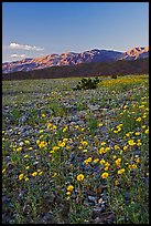 Desert blooms and distant mountains, sunset. Death Valley National Park ( color)