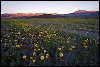 Rare desert wildflower bloom and mountains, sunset. Death Valley National Park ( color)