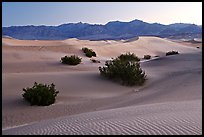 Mesquite bushes and sand dunes, dawn. Death Valley National Park ( color)