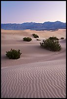 Ripples, mesquite on sand dunes, dawn. Death Valley National Park ( color)