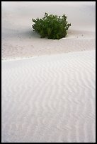 Mesquite bush and sand ripples, dawn. Death Valley National Park ( color)
