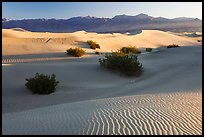 Sand dunes and mesquite bushes, sunrise. Death Valley National Park ( color)