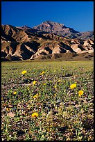 Desert Gold in bloom on flats bellow the Armagosa Mountains, late afternoon. Death Valley National Park, California, USA. (color)