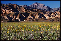 Desert Gold blooming on flats bellow the Armagosa Mountains, late afternoon. Death Valley National Park, California, USA. (color)