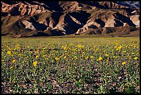 Desert Gold in bloom and badlands, late afternoon. Death Valley National Park, California, USA. (color)
