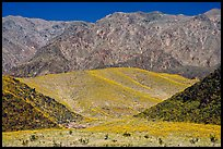 Hills covered with yellow blooms and Smith Mountains, morning. Death Valley National Park, California, USA. (color)