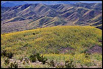 Butte and Owlshead Mountains, dotted with wildflowers. Death Valley National Park ( color)
