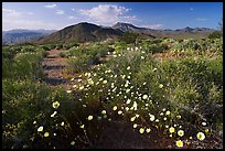 High desert with Desert Dandelion flowers n. Death Valley National Park ( color)