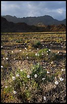 Desert with Gravel Ghost wildflowers and Black Mountains. Death Valley National Park ( color)