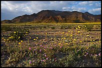 Wildflowers and Black Mountains below Jubilee Pass, late afternoon. Death Valley National Park, California, USA. (color)