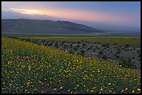 Field of Desert Gold and Owlshead Mountains near Ashford Mill, sunset. Death Valley National Park ( color)