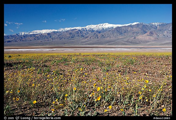 Desert Gold and snowy Panamint Range, morning. Death Valley National Park, California, USA.