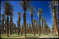 Palm trees in Furnace Creek Oasis. Death Valley National Park ( color)