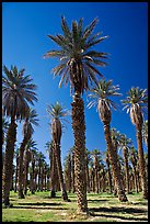 Date Palms in Furnace Creek Oasis. Death Valley National Park ( color)