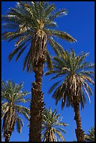 Date palm trees in Furnace Creek Oasis. Death Valley National Park ( color)